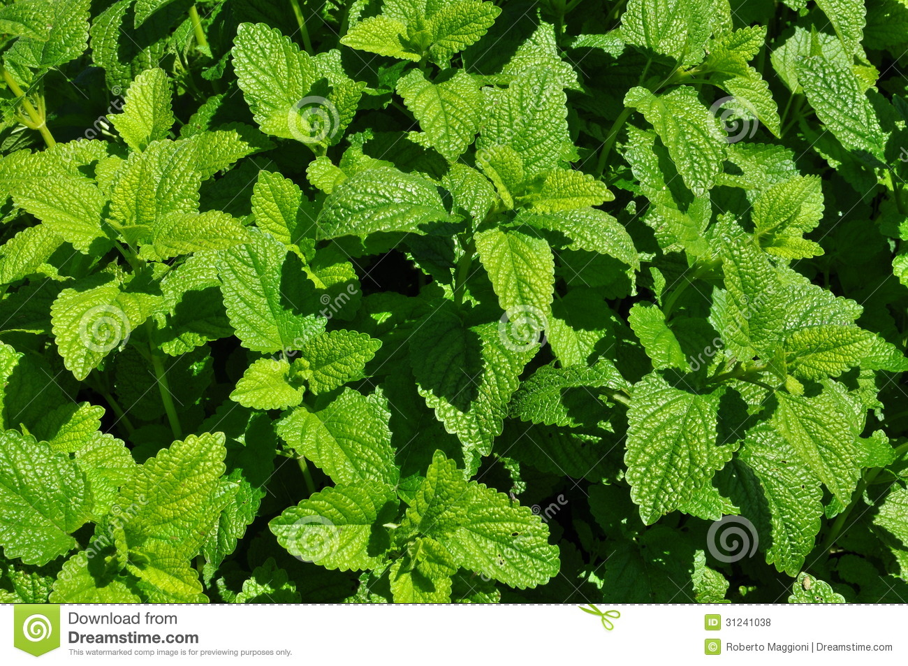 Mint Growing and Harvest Information | Growing Herbs