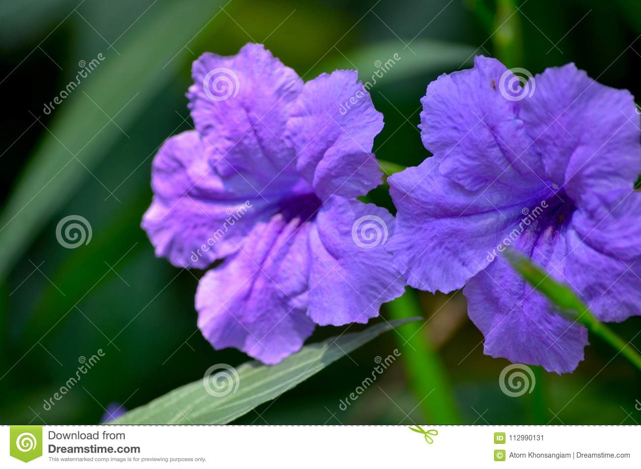 Is a species of flowering plant in the acanthus family