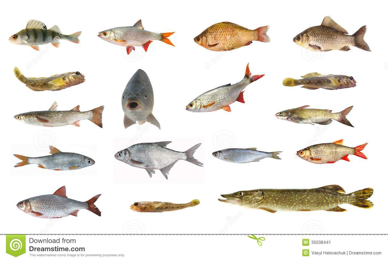 Species of river fish stock image image of gold dieting for Types of white fish to eat