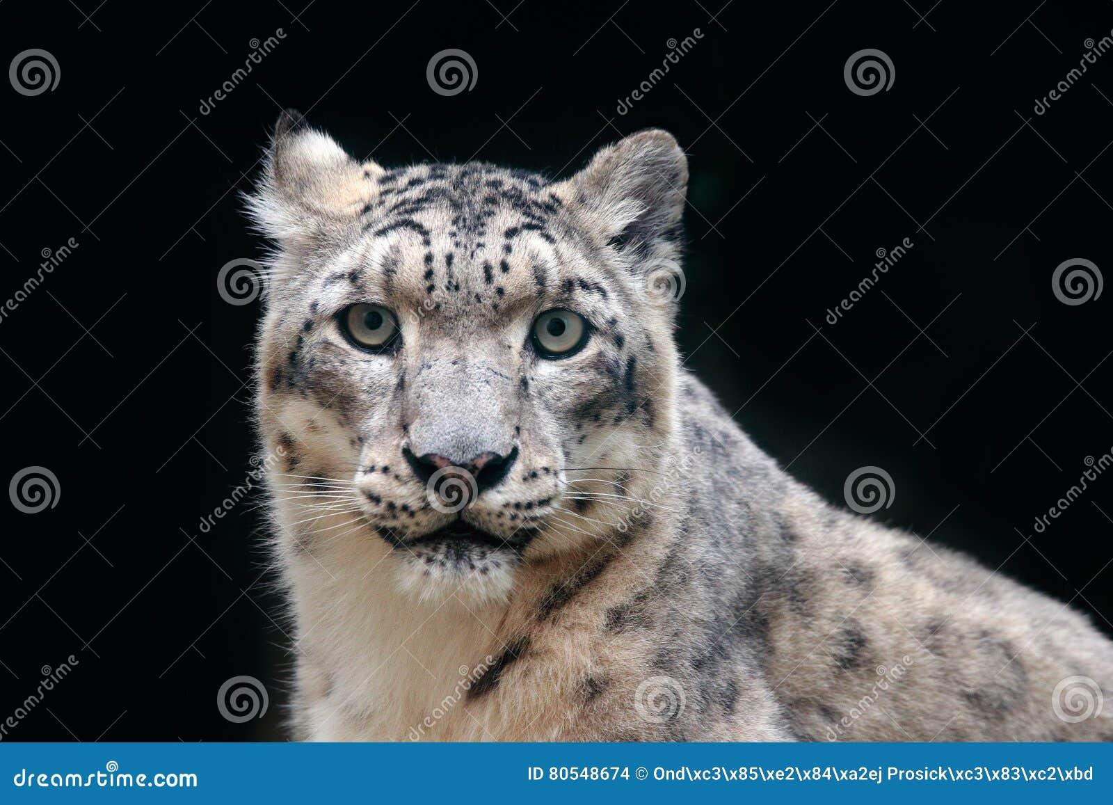 Specificera ståenden av den härliga snöleoparden för den stora katten, Pantherauncia Framsidastående av leoparden med klar svart
