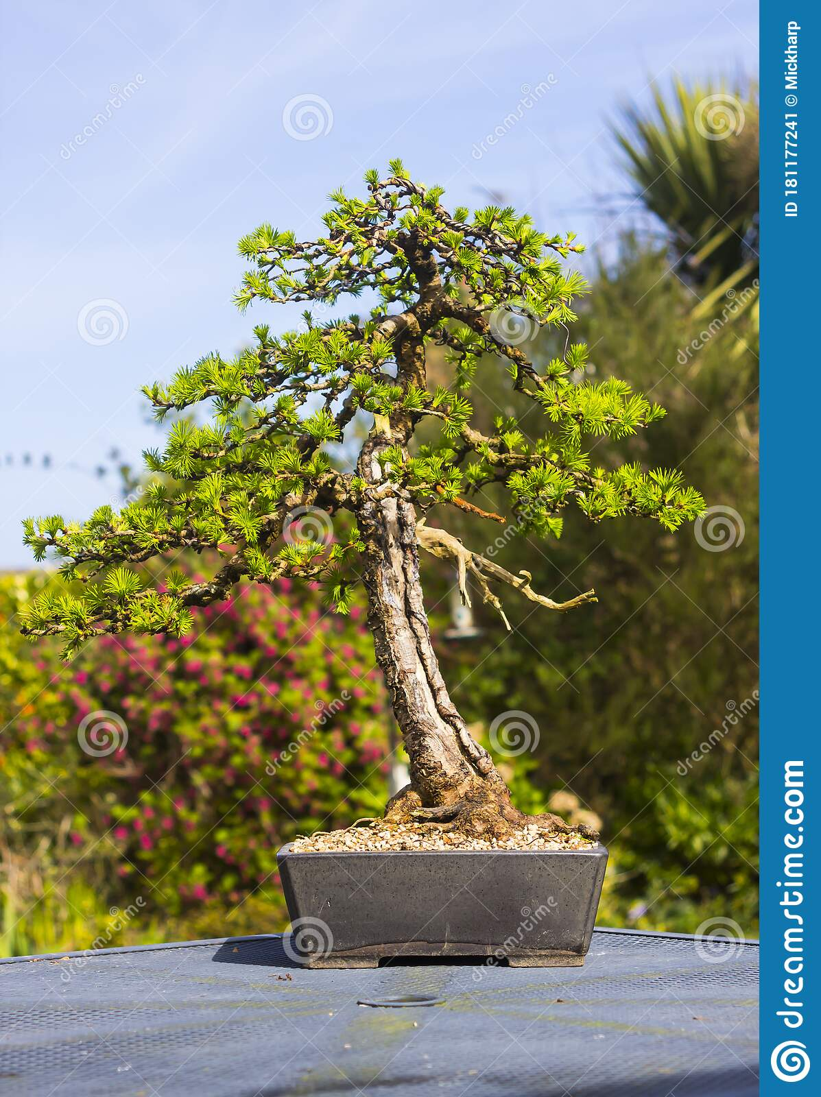 Larch Bonsai Photos Free Royalty Free Stock Photos From Dreamstime