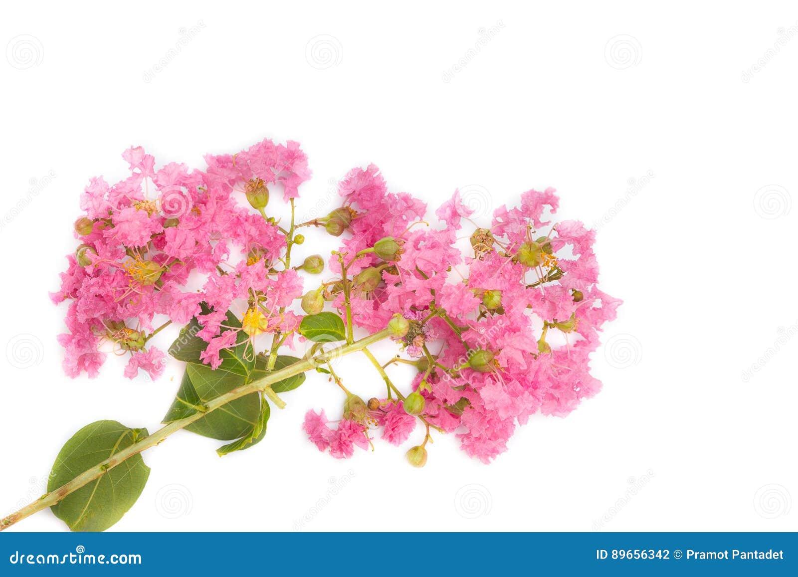 Speciosa De Lagerstroemia De Myrte De Crepe Ou Fleur Rose De Jarul