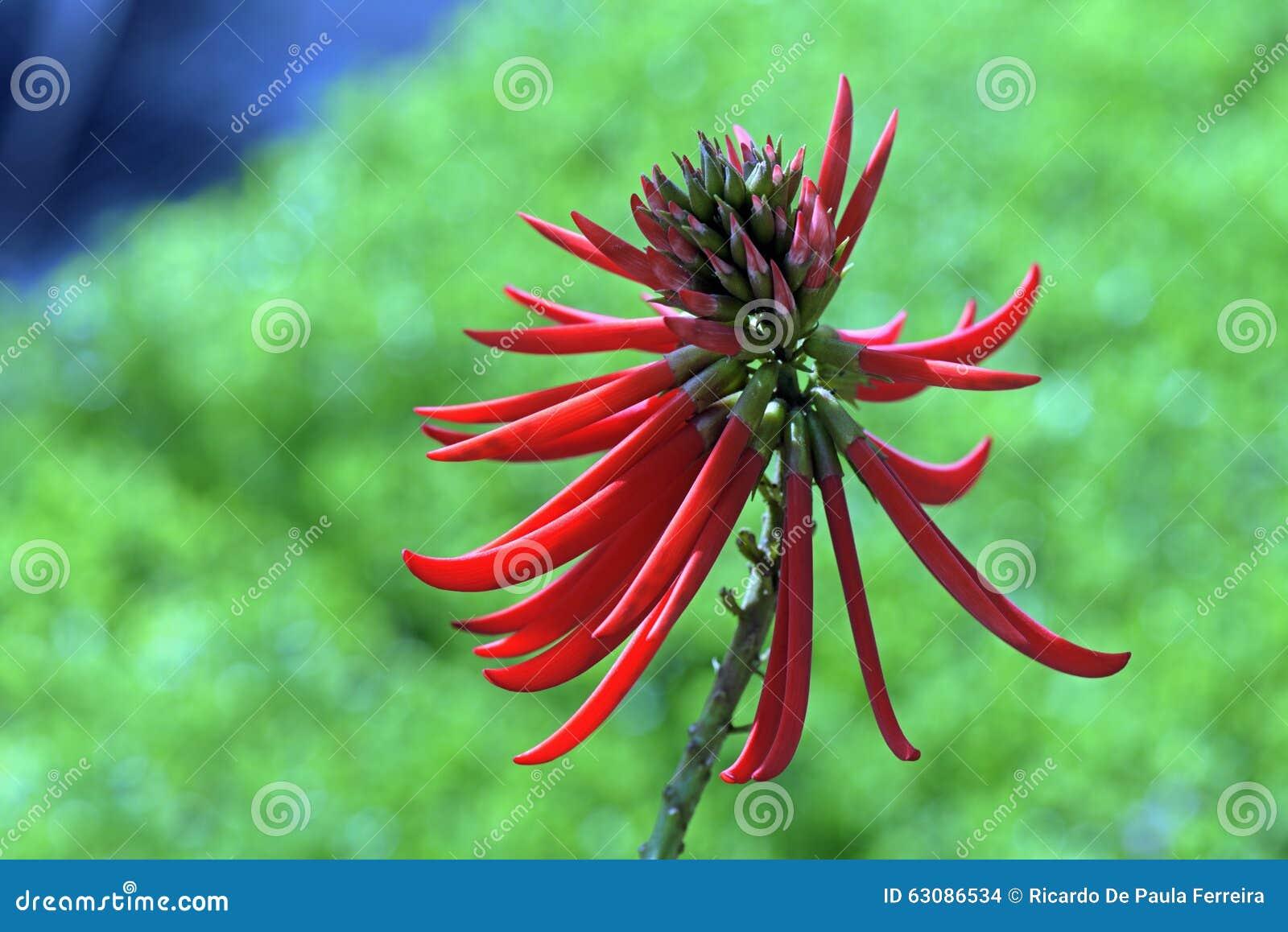 Download Speciosa Ou Mulungu D'Erythrina Photo stock - Image du brazil, fleur: 63086534