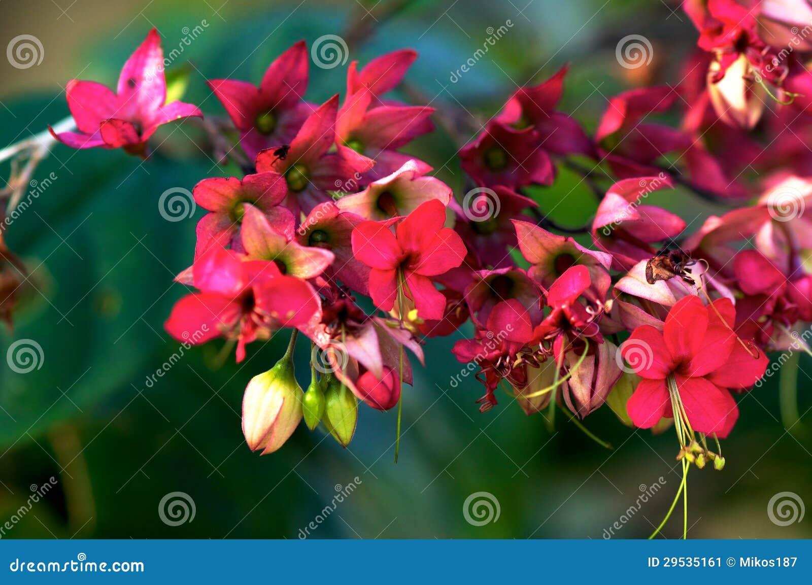 Speciosum de Clerodendrum