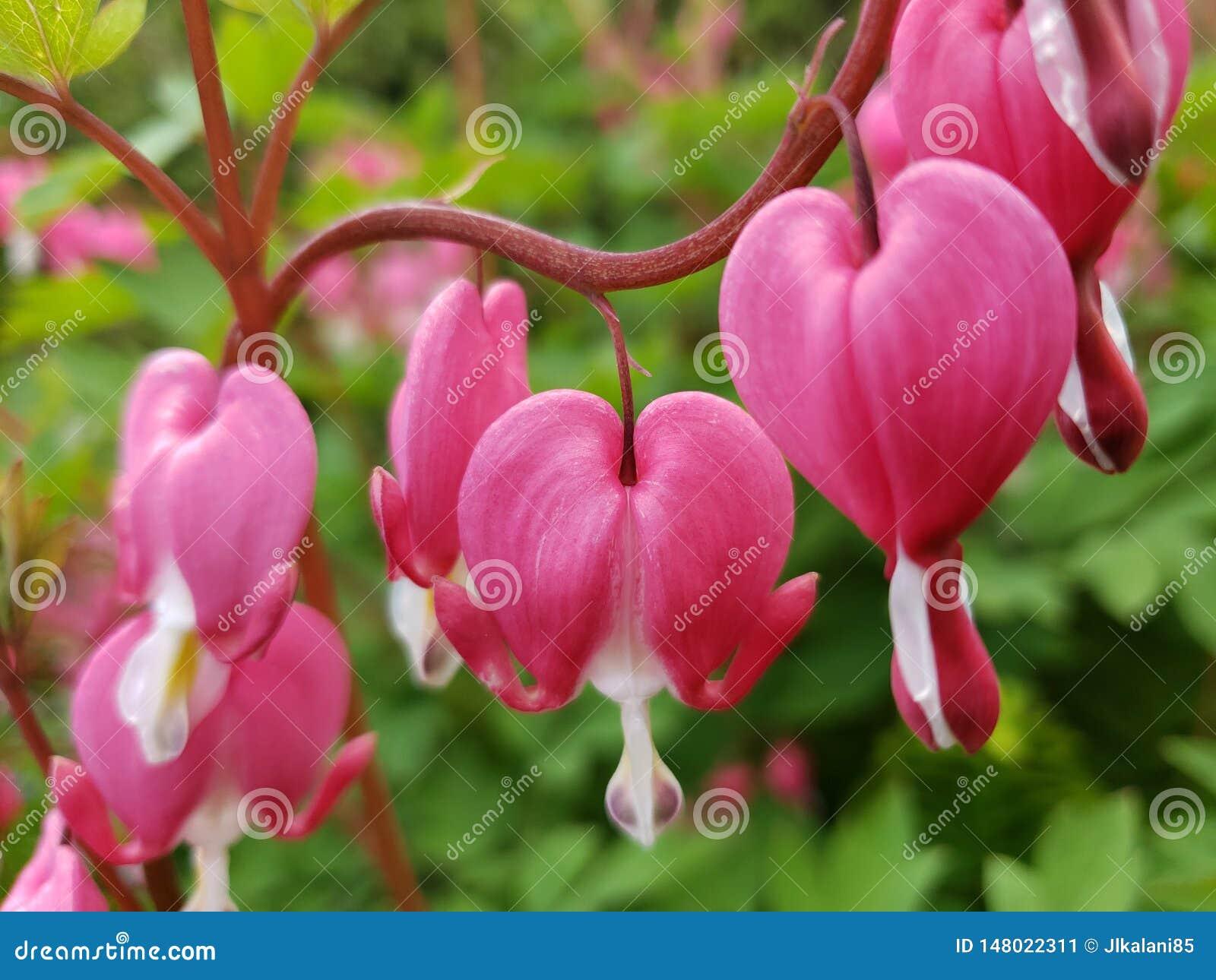 Spectabilis de rose et blancs tous de d?fenseur de la veuve et de l orphelin de fleurs de lamprocapnos dans une rang?e