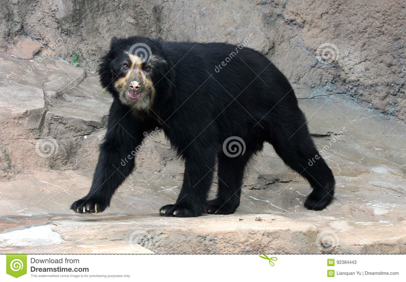 Spectacled bear or Andean bear is endemic bear to South America
