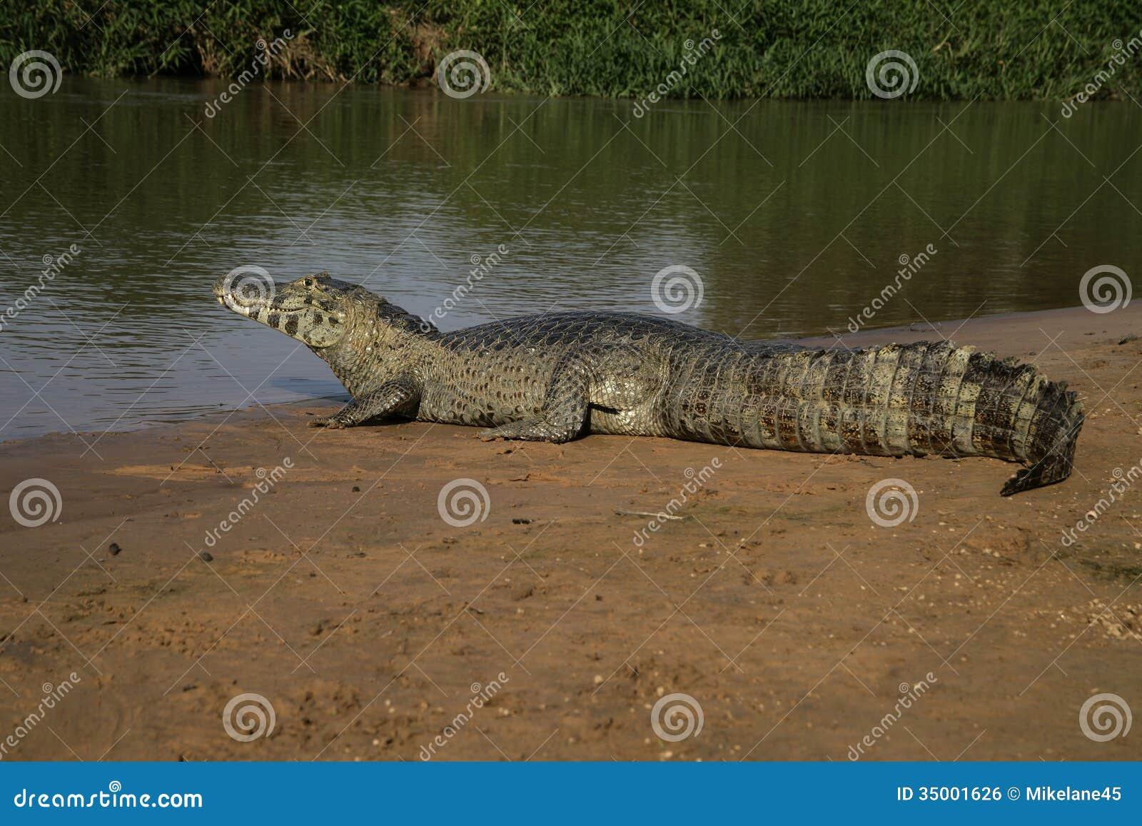 Spectacled caiman, crocodilus Caiman