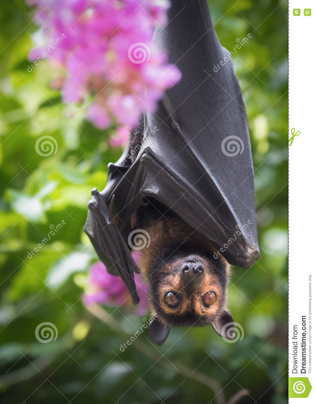 Spectacled Flying Fox Bat with Crepe Myrtle