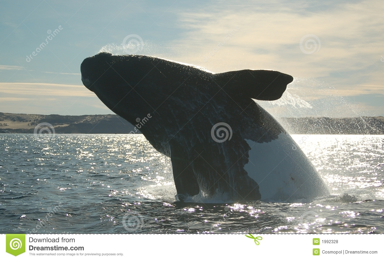 Spectacular Black And White Whale Jumping Royalty Free ...