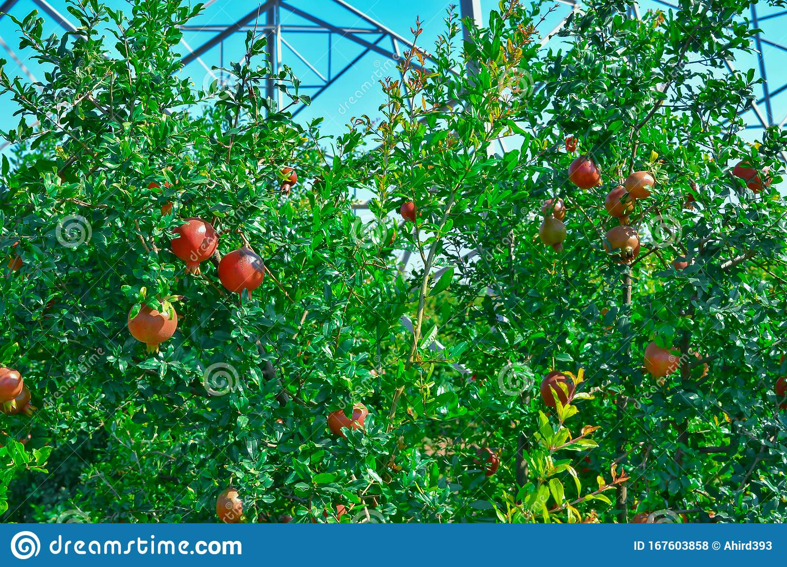 Spectacular Ripe Pomegranate Autumn Garden Big And Beautiful Pomegranate Fruits On Trees Pomegranate Garden Stock Photo Image Of Colorful Background 167603858