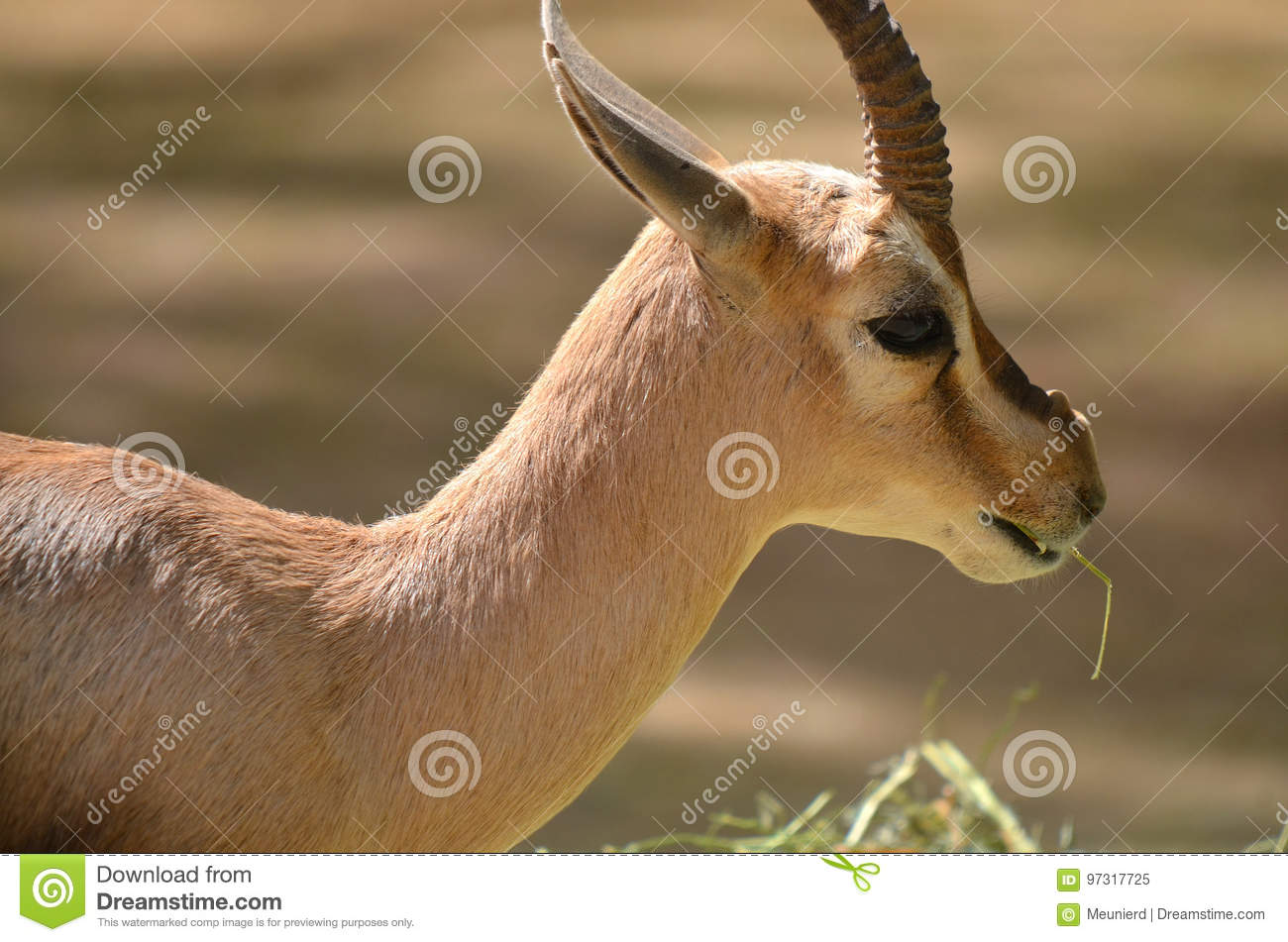 Gazelle - the animal of the steppes and deserts 35
