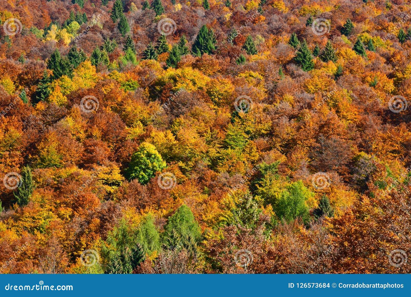 Spektakularna jesień barwi drzewa w lesie