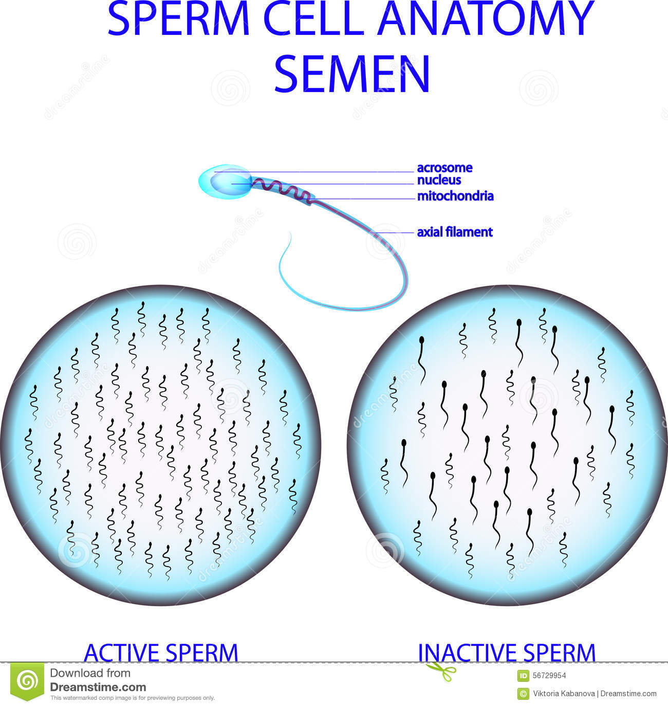 Sperm Cell Anatomy Semen Stock Vector Illustration Of Procreation