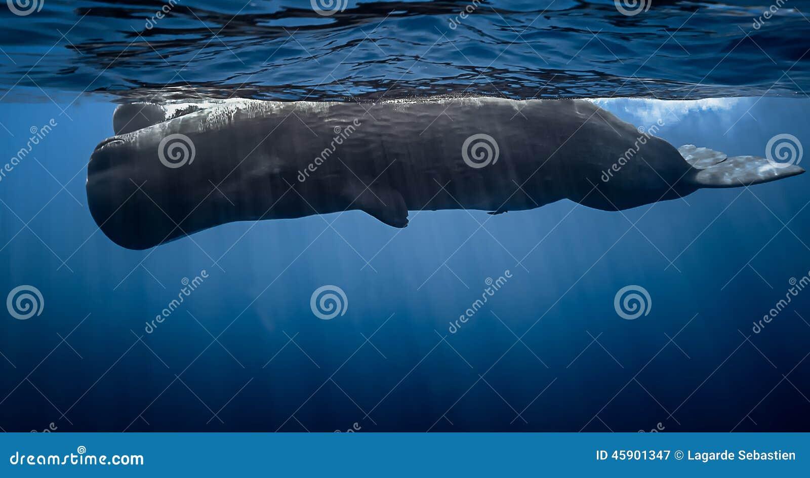 videos of blue whales sperm