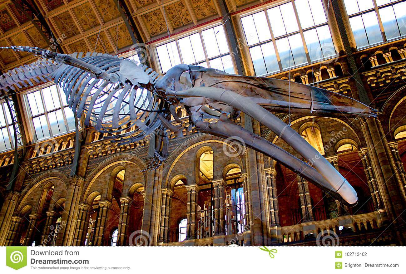 Sperm whale skeleton in Natural History Museum of London