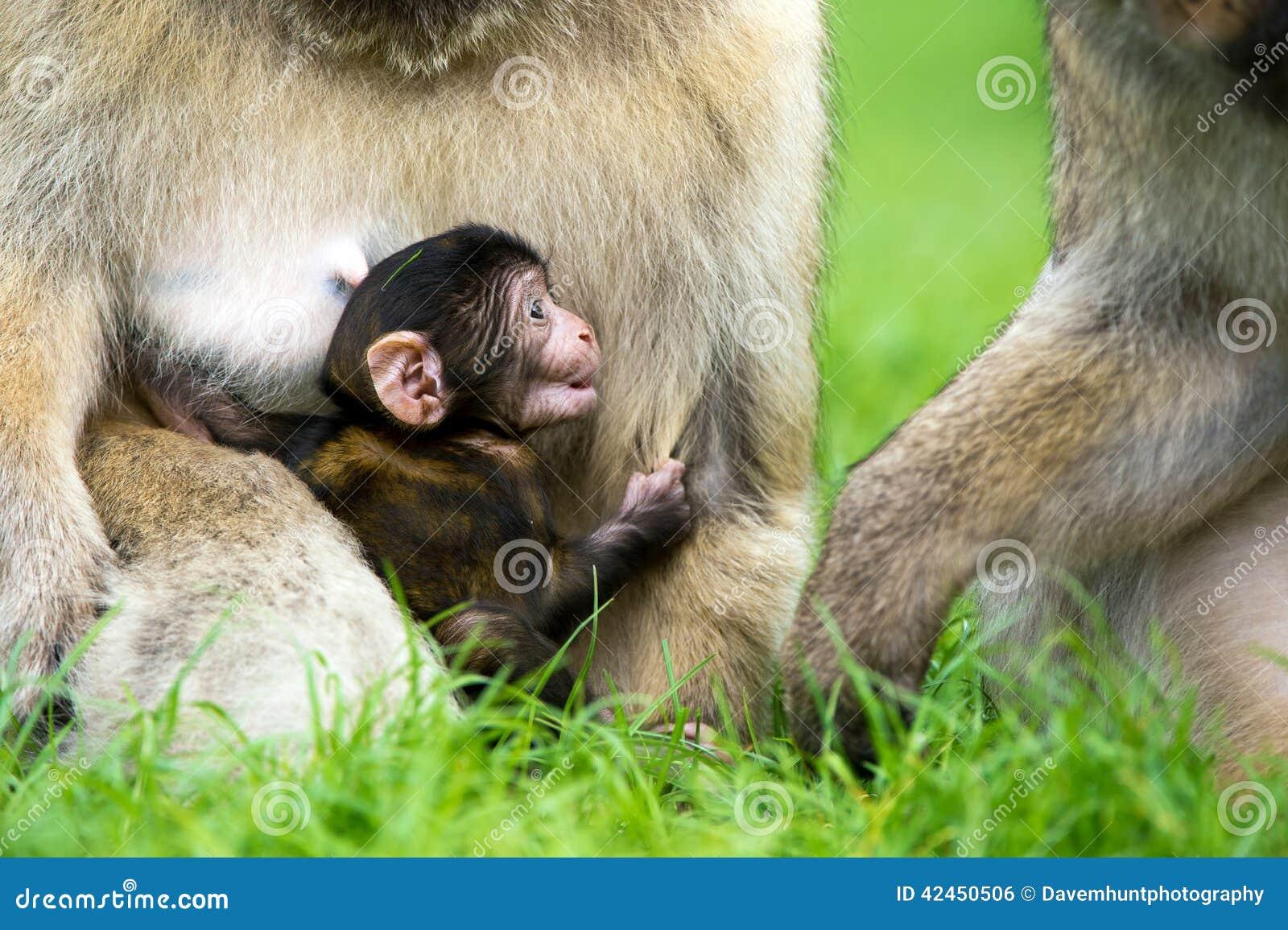 Spezies: Macaca sylvanus