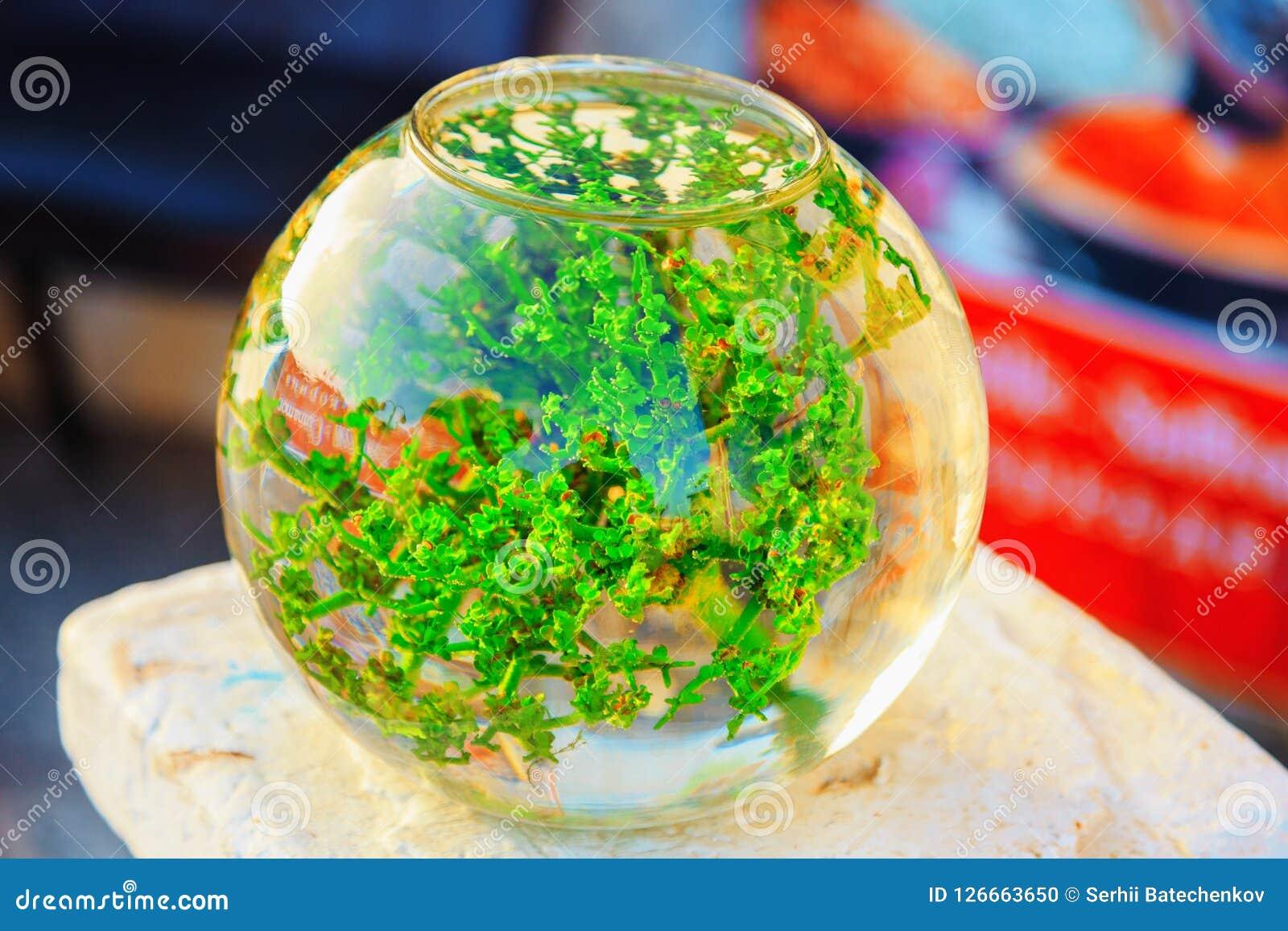Spherical aquarium with green algae