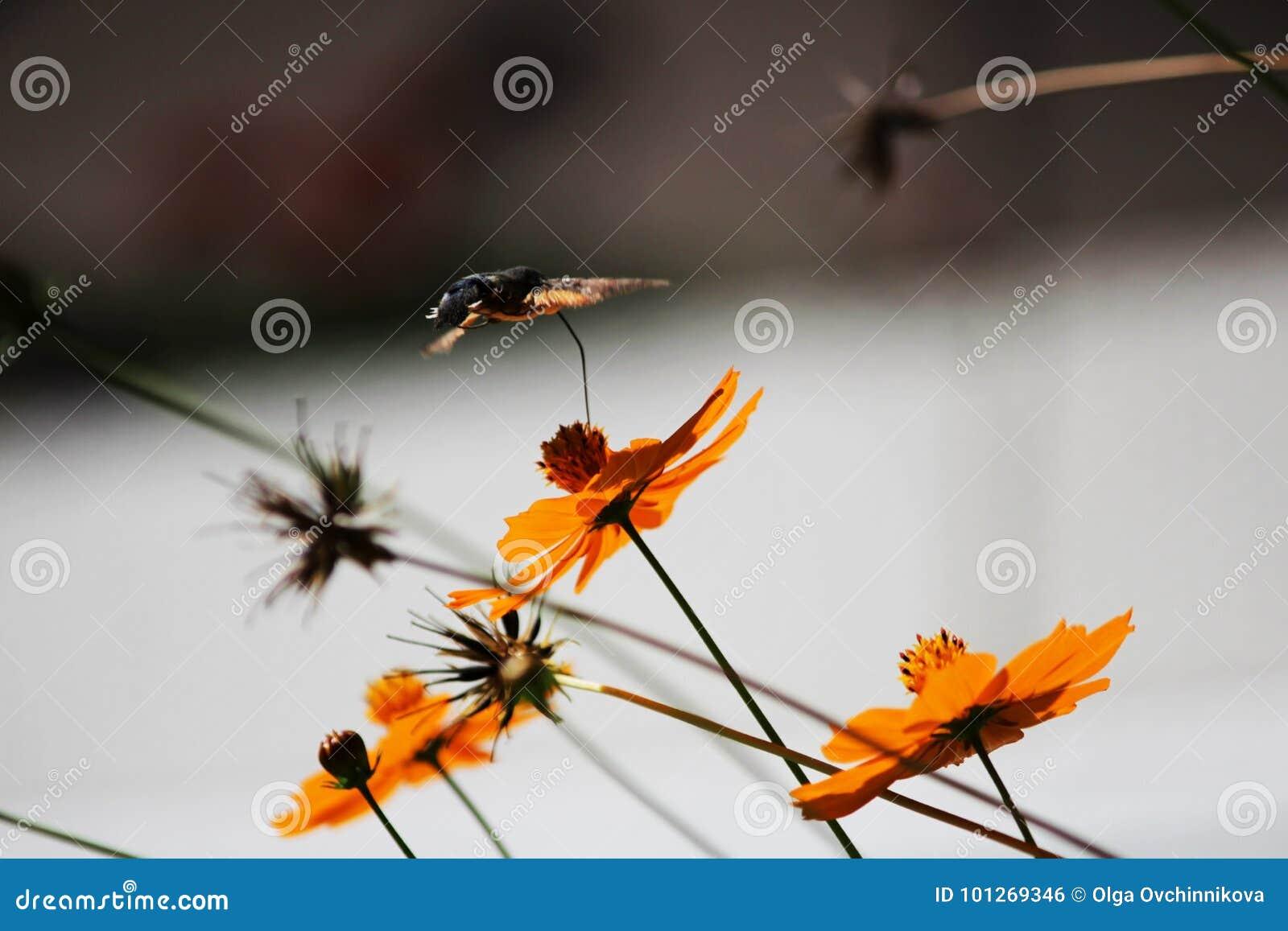 Sphingidae, Known As Bee Hawk-moth, Enjoying The Nectar Of A