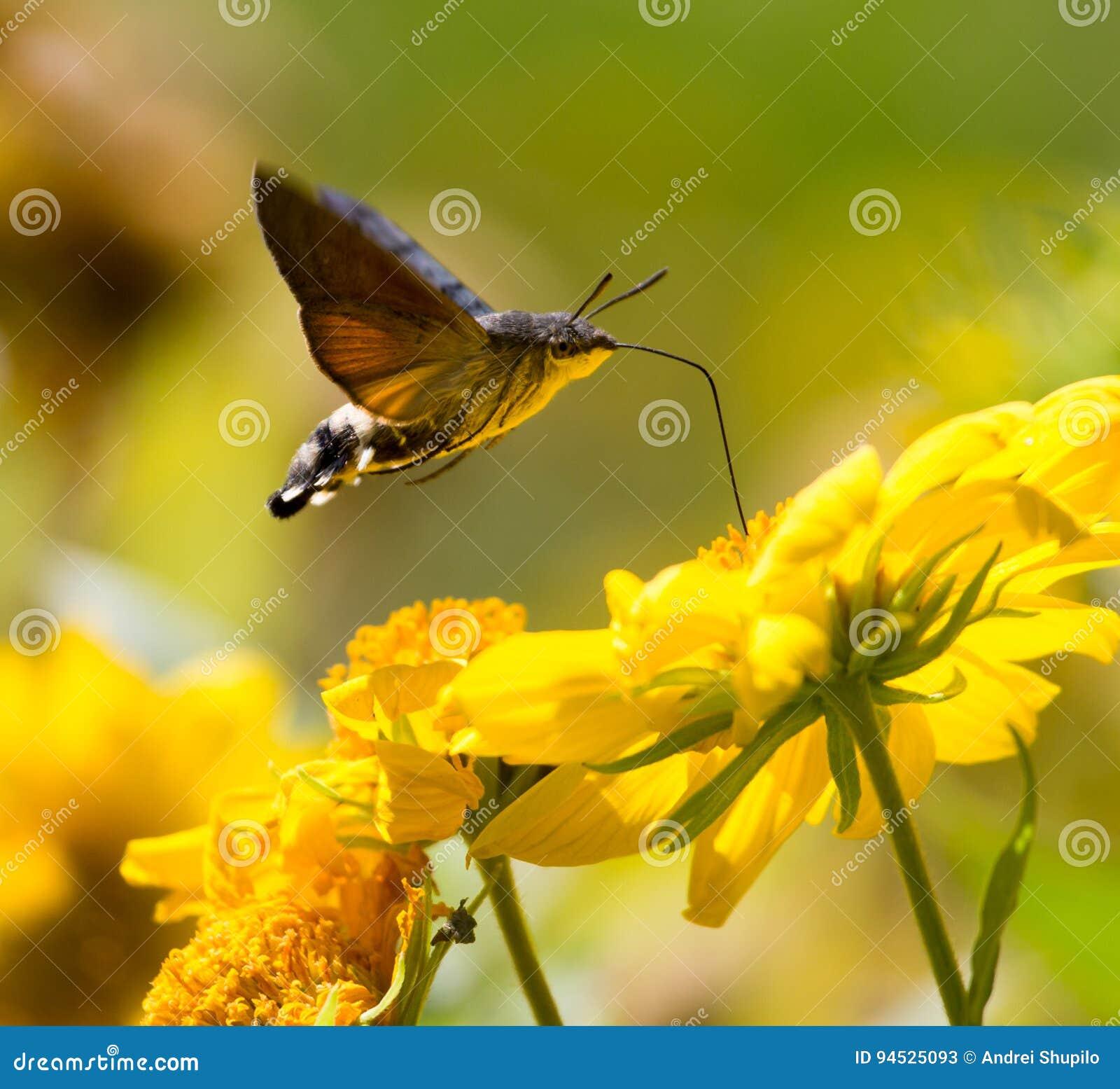 Sphingidae, znać jako pszczoły ćma, cieszy się nektar żółty kwiat