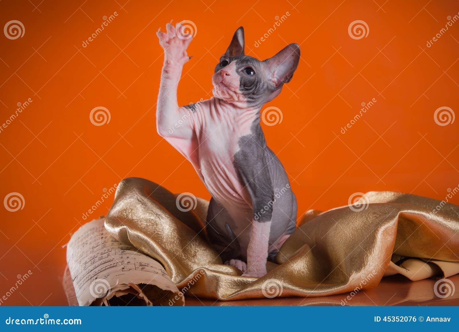 Sphinx de chat de Kitty, chauve nu