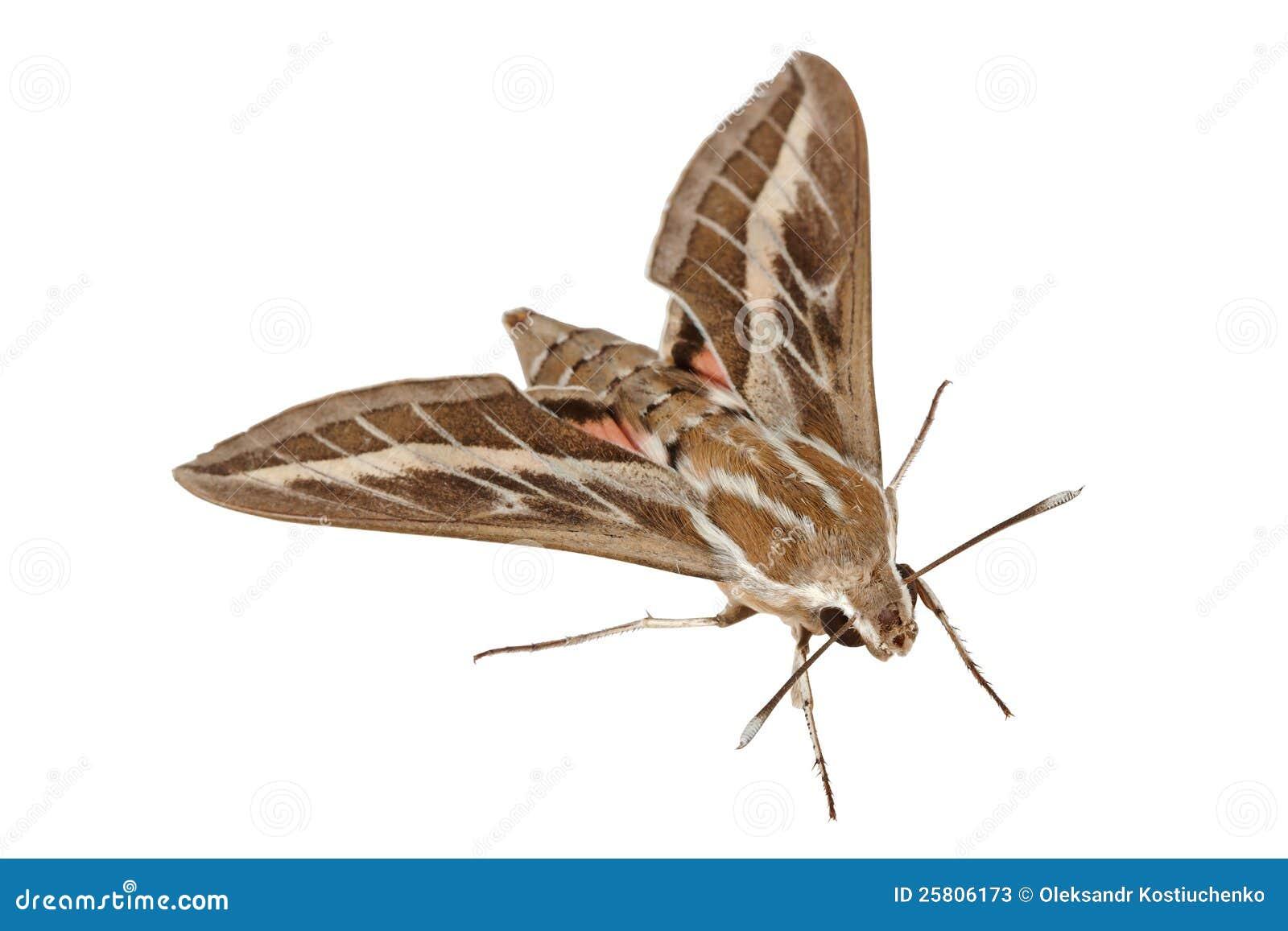 Sphinx de faucon mite ou de gallium de caille lait photos stock image 25806173 - D ou viennent les mites ...