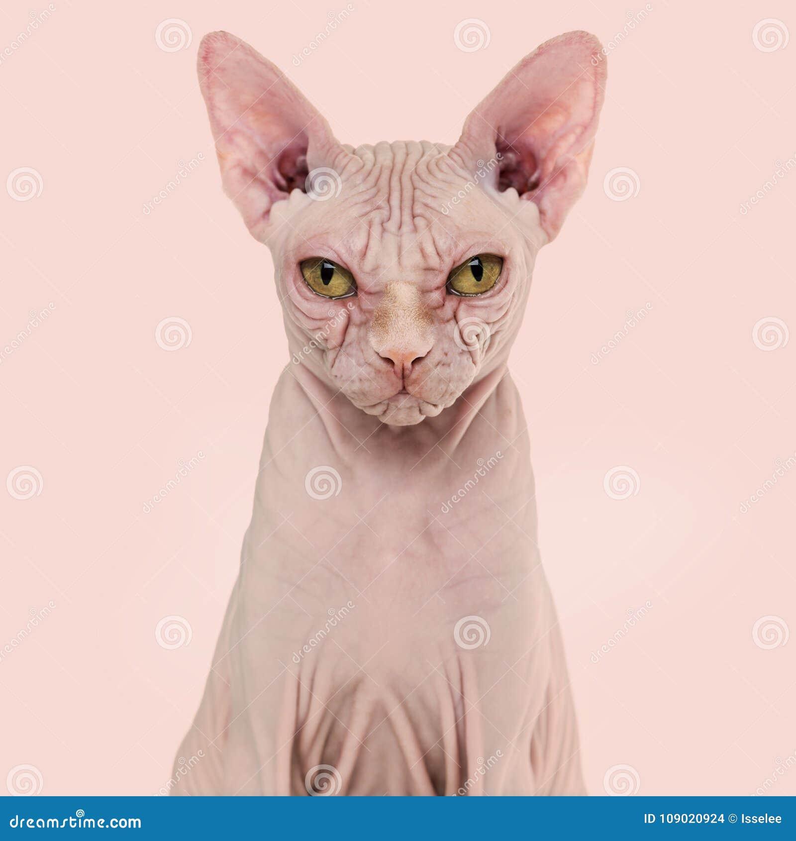 Sphynx Bezwłosy Kot 4 Lat Przeciw Różowemu Tłu Zdjęcie Stock