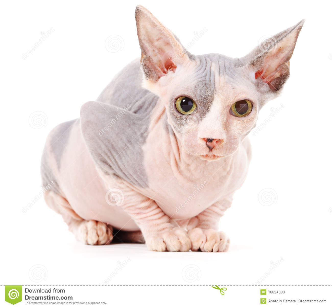 Sphynx Cat Stock Image. Image Of Cute, Donsphinx, Litter