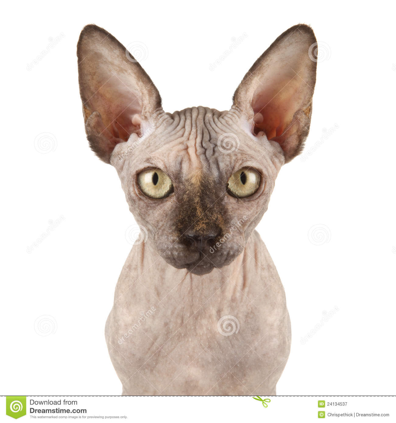 sphynx cat royalty free stock photography image 24134537