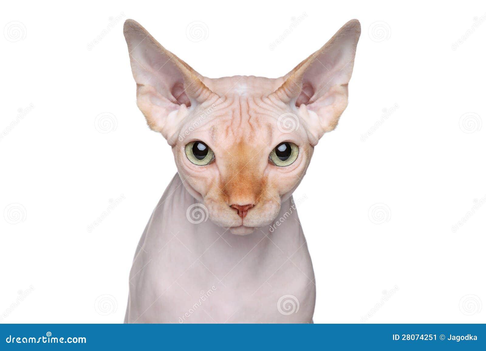 Sphynx Cat Portrait On White Background Stock Image Image 28074251