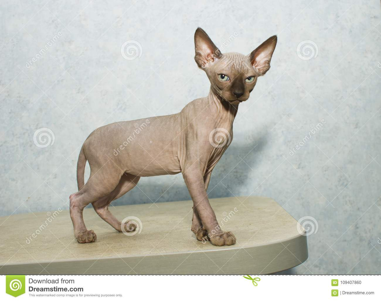 Sphynx cat poses for a photo shoot