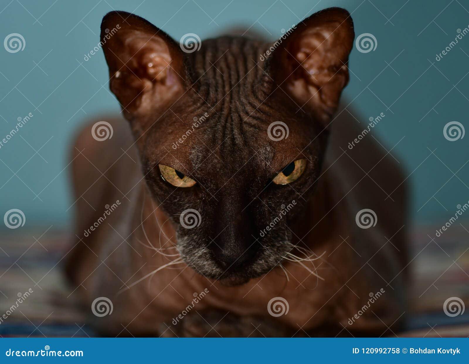 Sphynx czarny kot