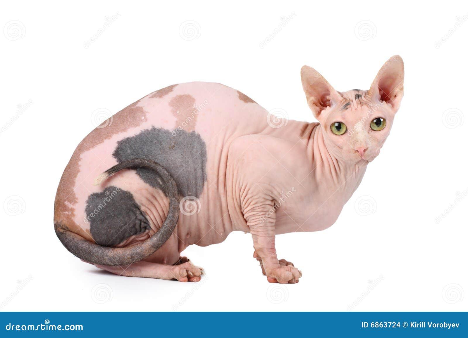 Sphynx de chat