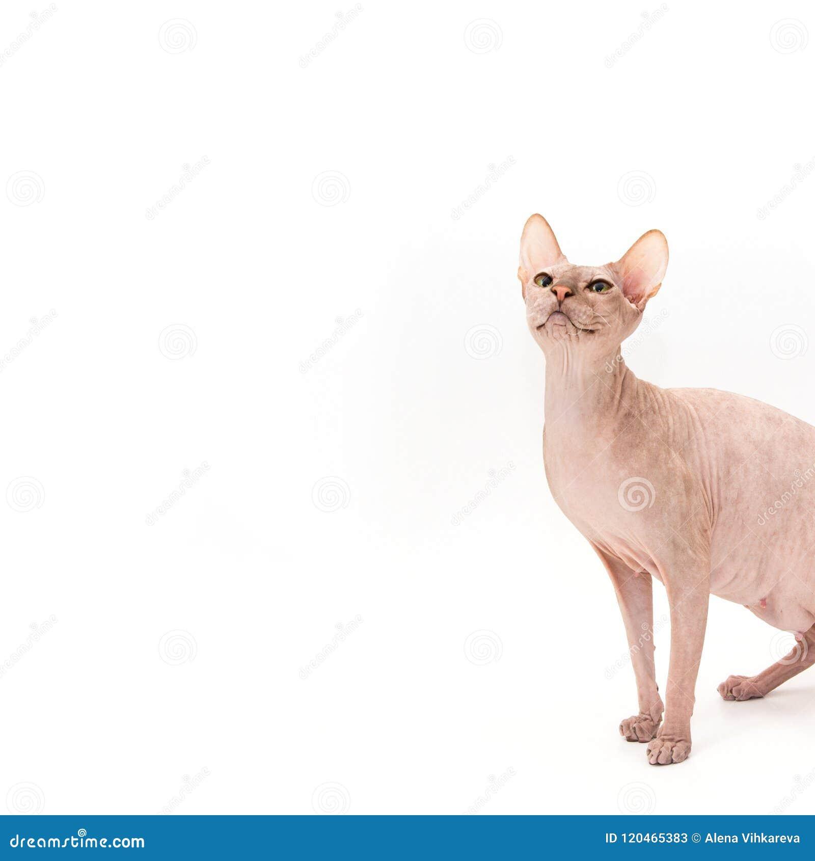 Sphynx-Kätzchen lokalisiert auf Weiß
