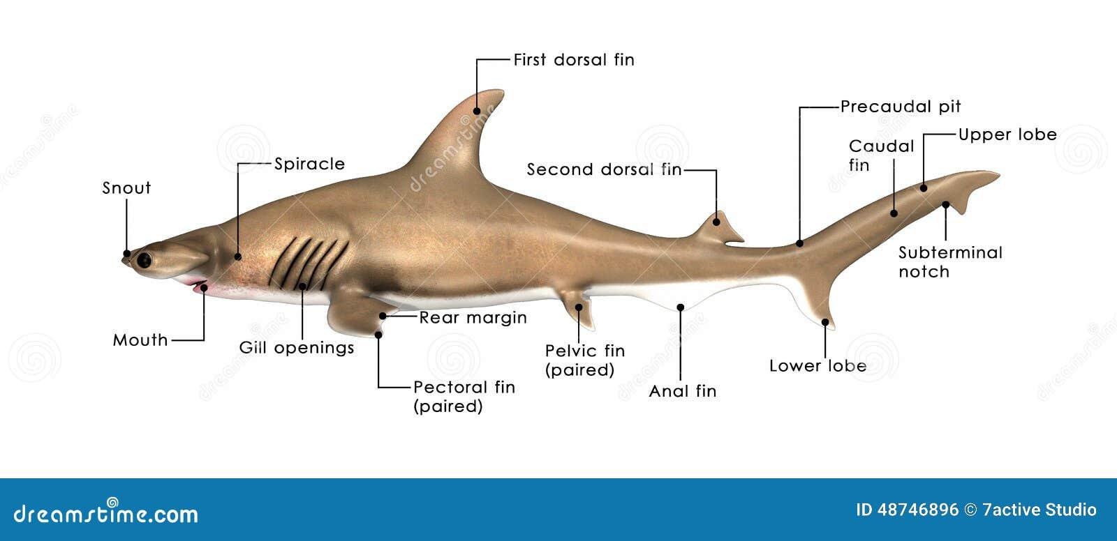 Sphyrna stock illustration. Illustration of tail, distribution ...