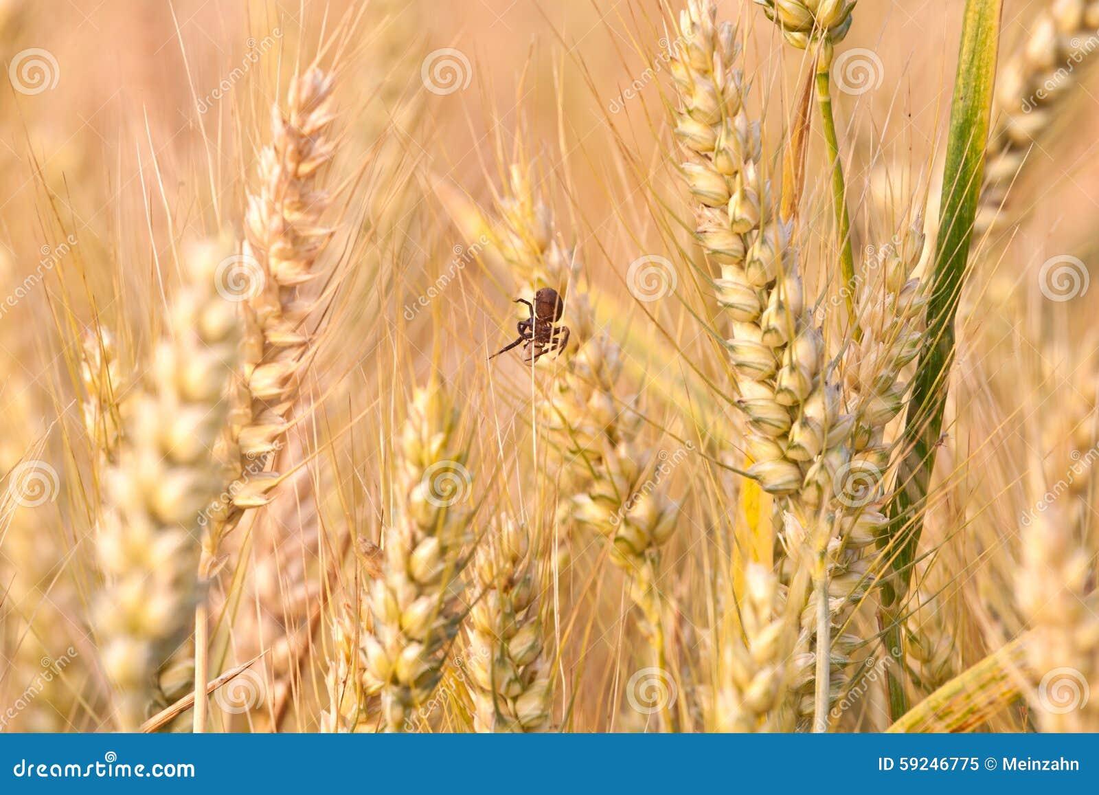 Spica del maíz en el campo con la araña