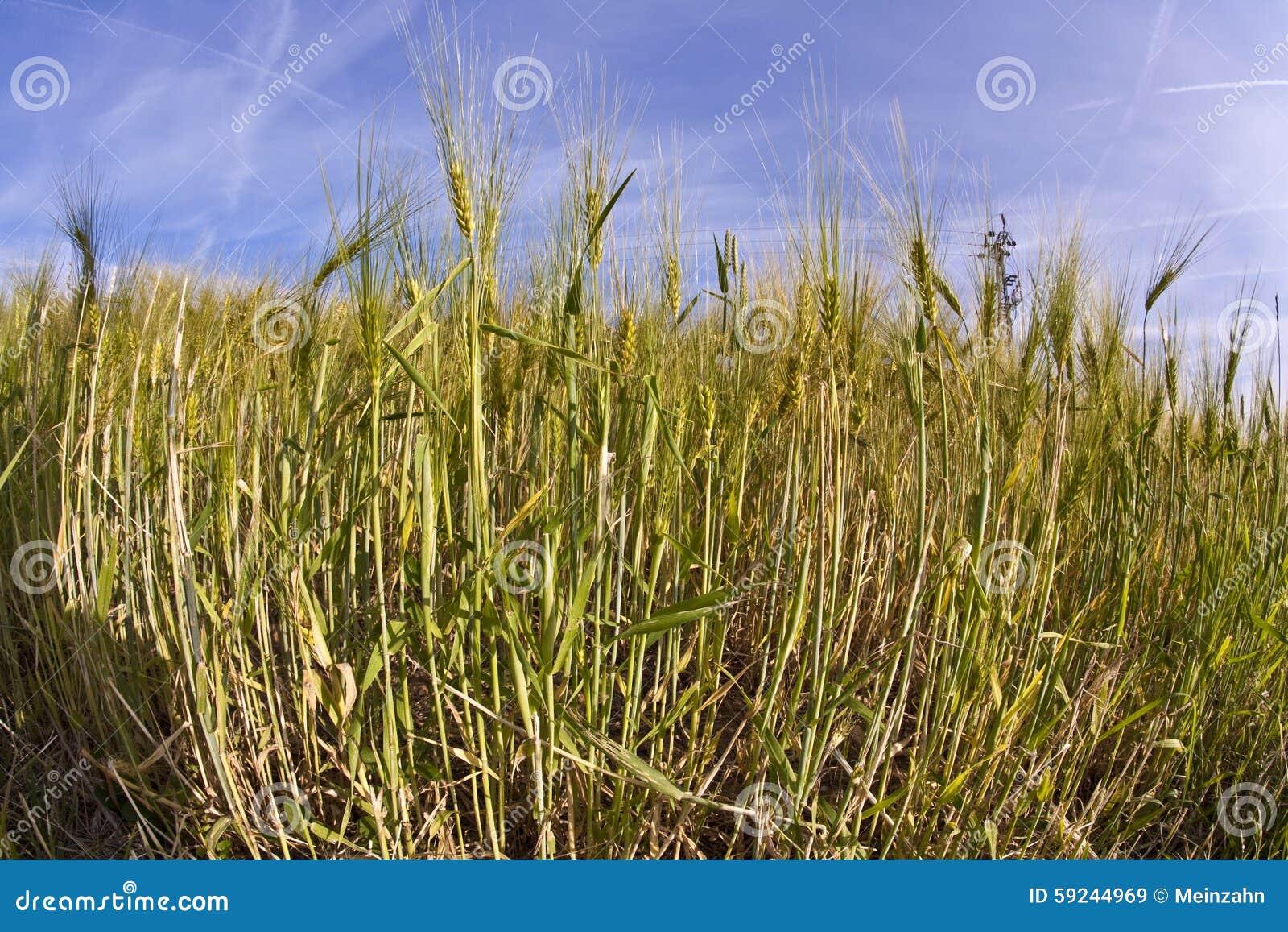 Spica del trigo