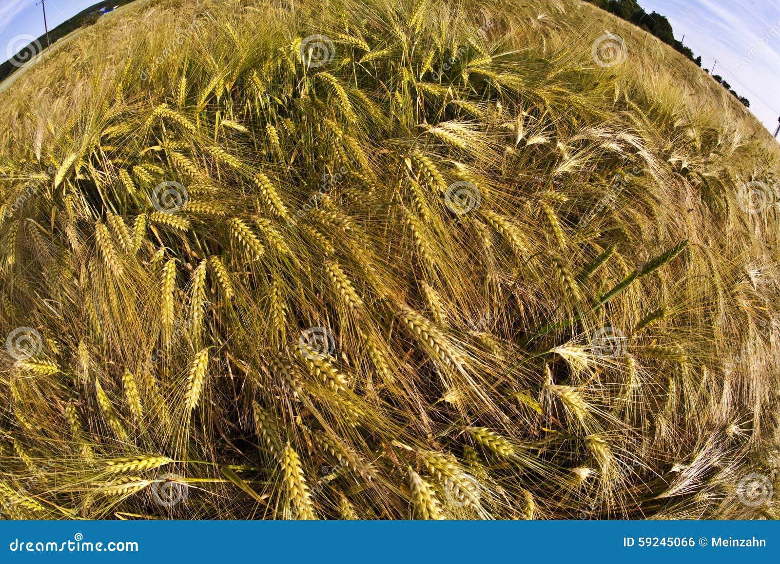 Download Spica del trigo en campo foto de archivo. Imagen de maíz - 59245066