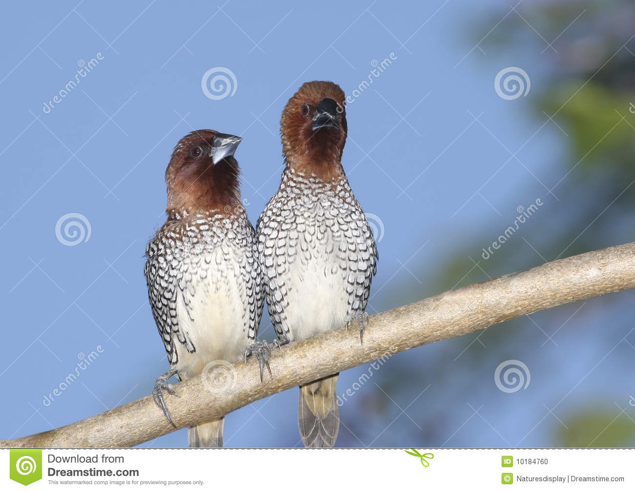 Spice Finches