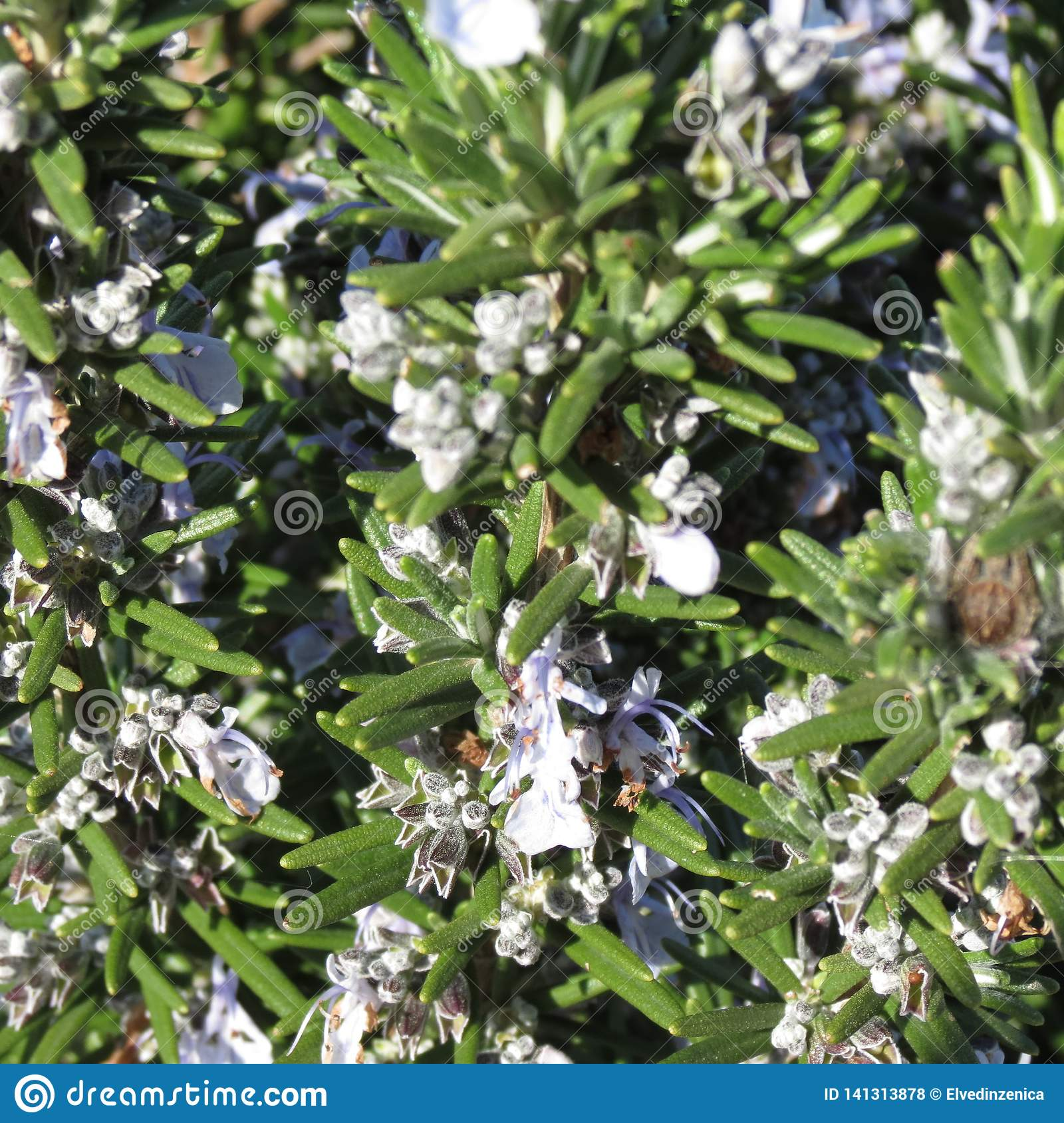 Spice herbs, rosemary in bloom