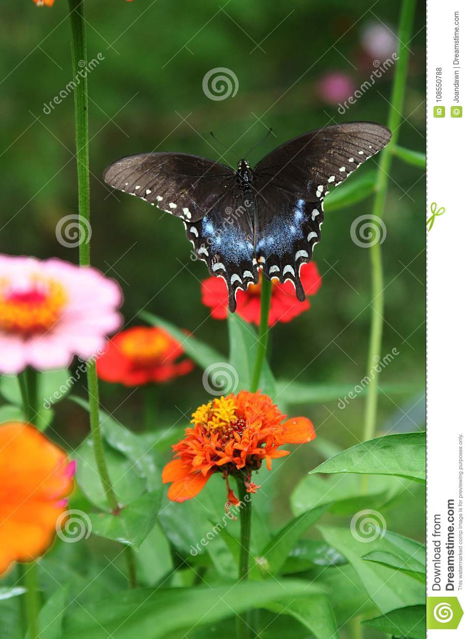 Spicebush swallowtail butterfly rises out of a zinnia patch