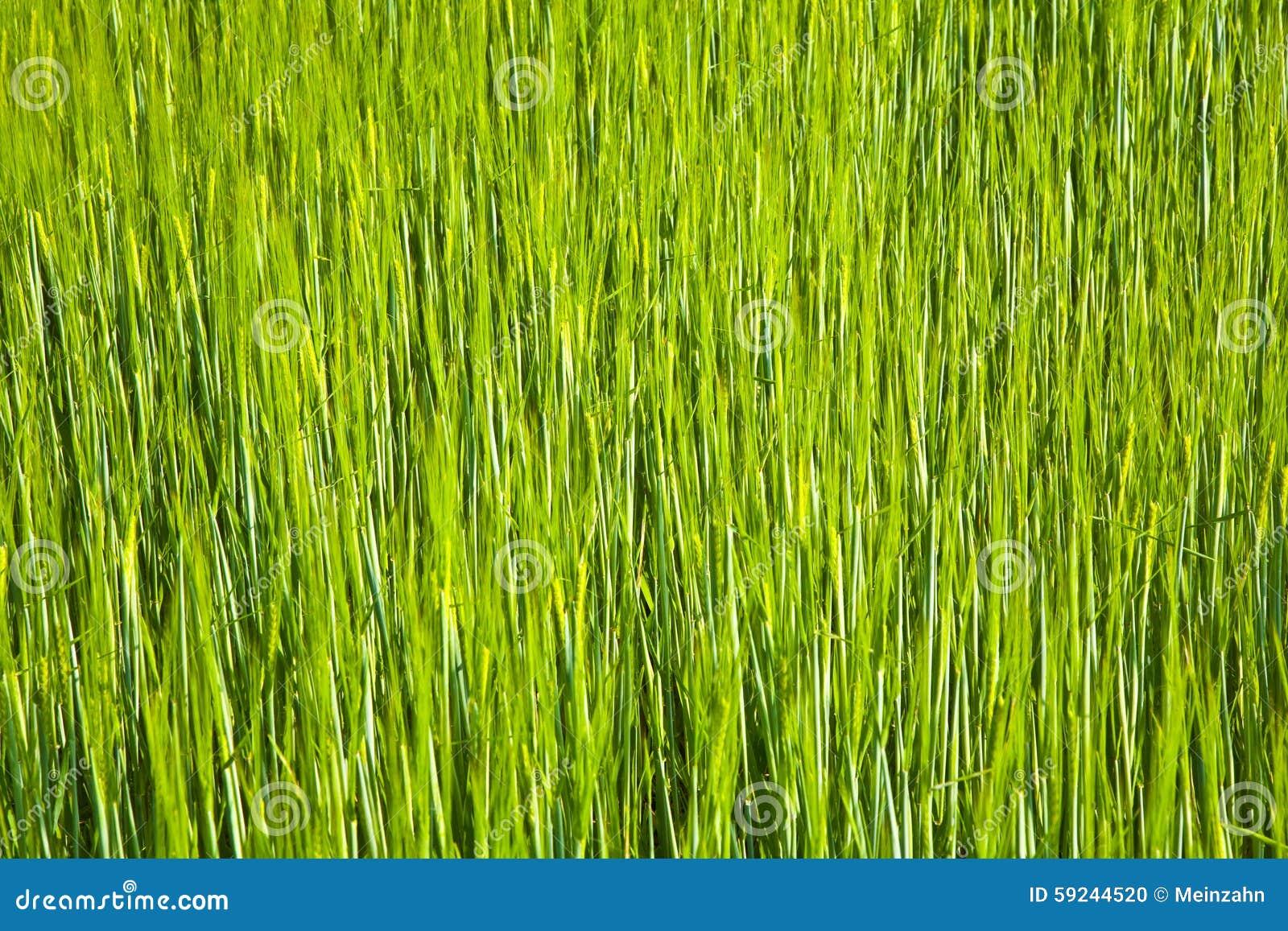 Spicka del maíz