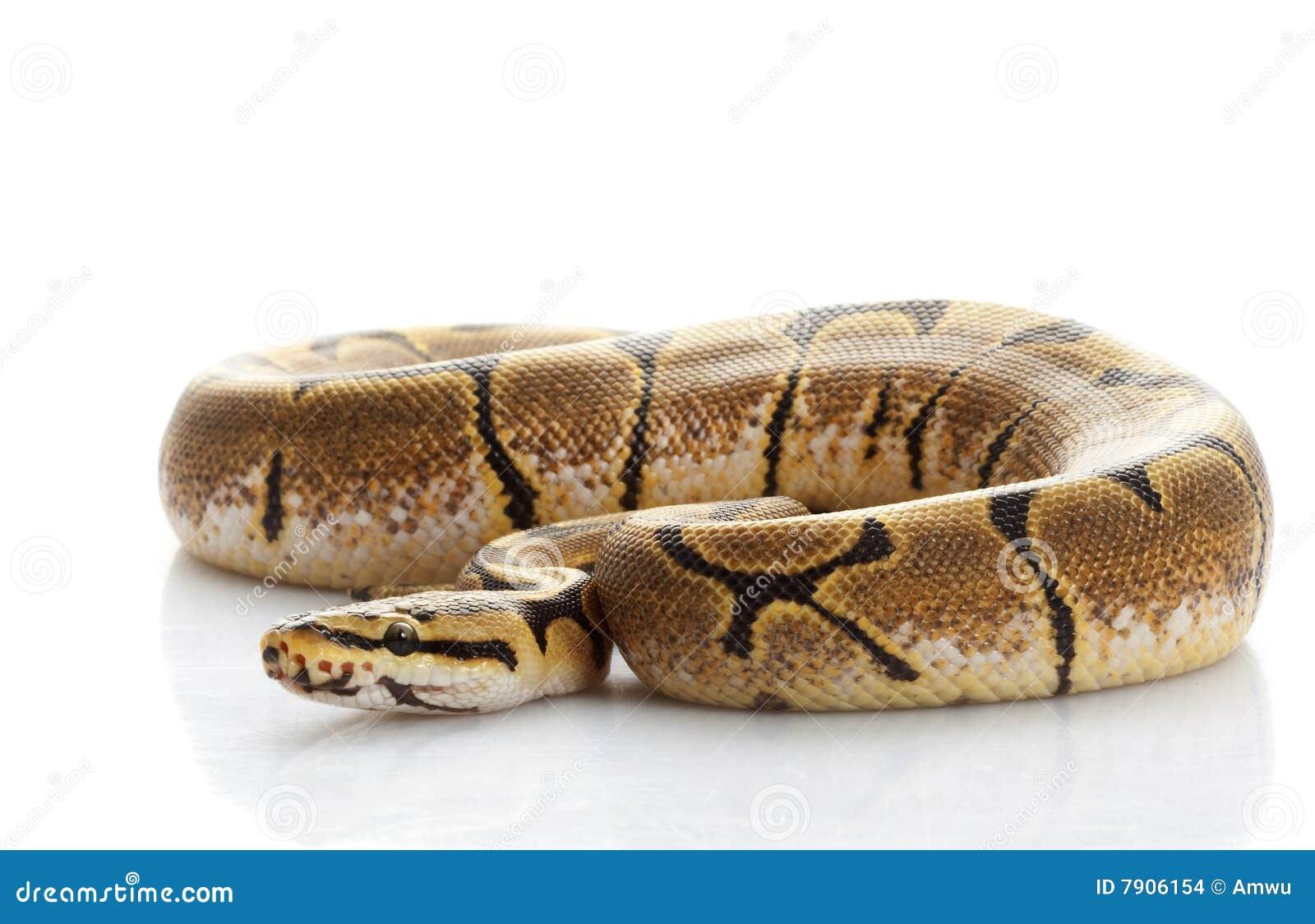 Spider Ball Python (Python regius) isolated on white background.