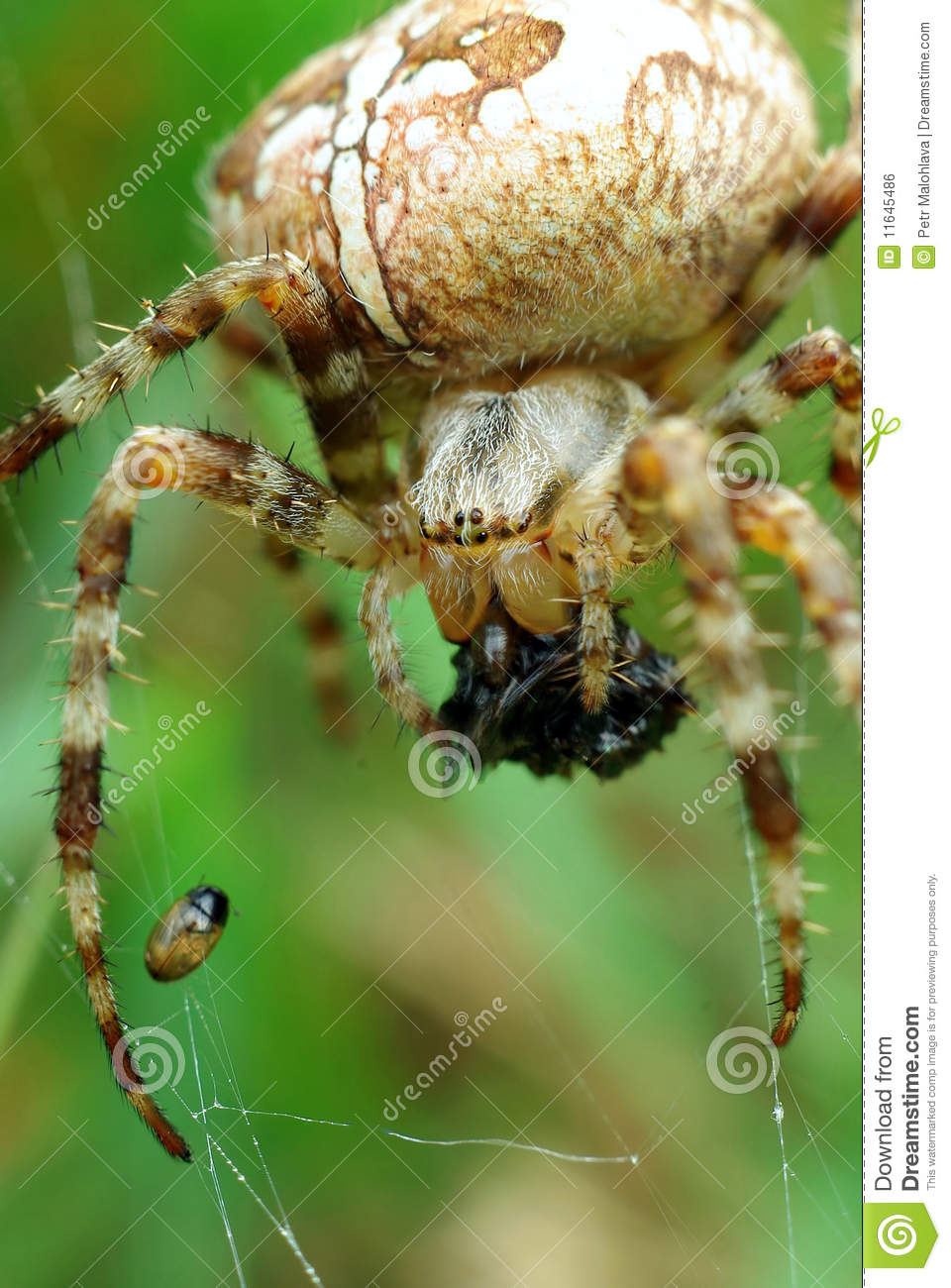 Download Spider with catch stock photo. Image of booty, hunter - 11645486