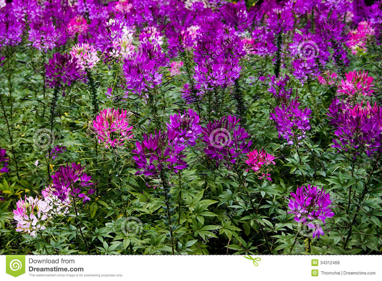 Spider Flower Royalty Free Stock s Image