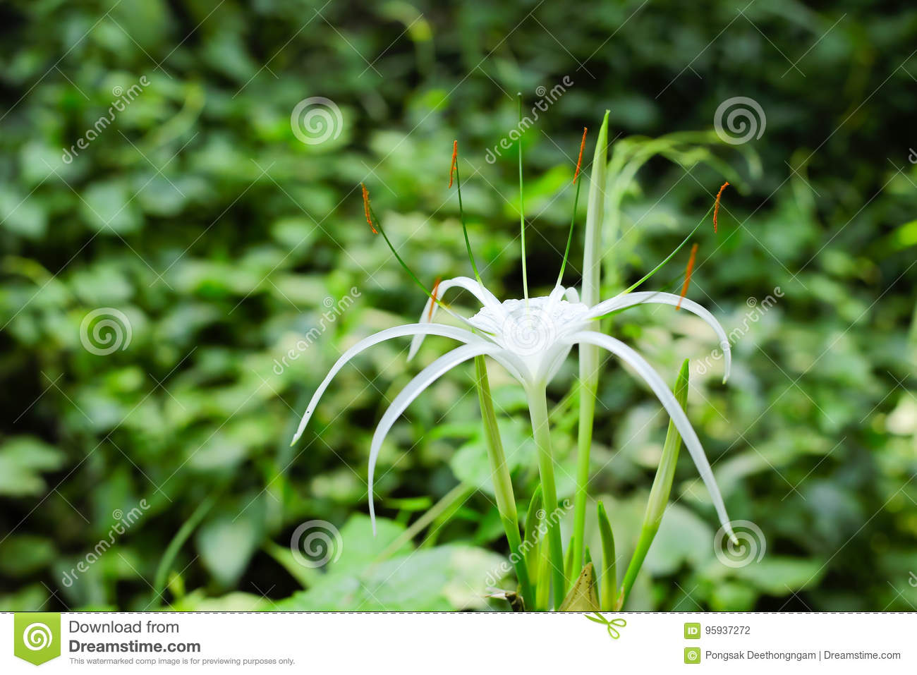 Spider lily flower stock photo image of hawaiian petal 95937272 download spider lily flower stock photo image of hawaiian petal 95937272 izmirmasajfo