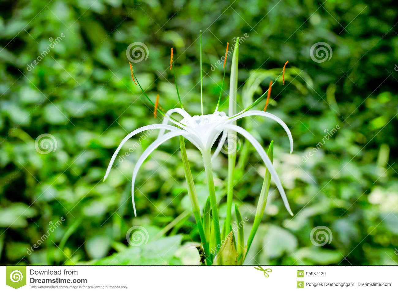 Spider lily flower stock photo image of botanical ornamental spider lily flower izmirmasajfo