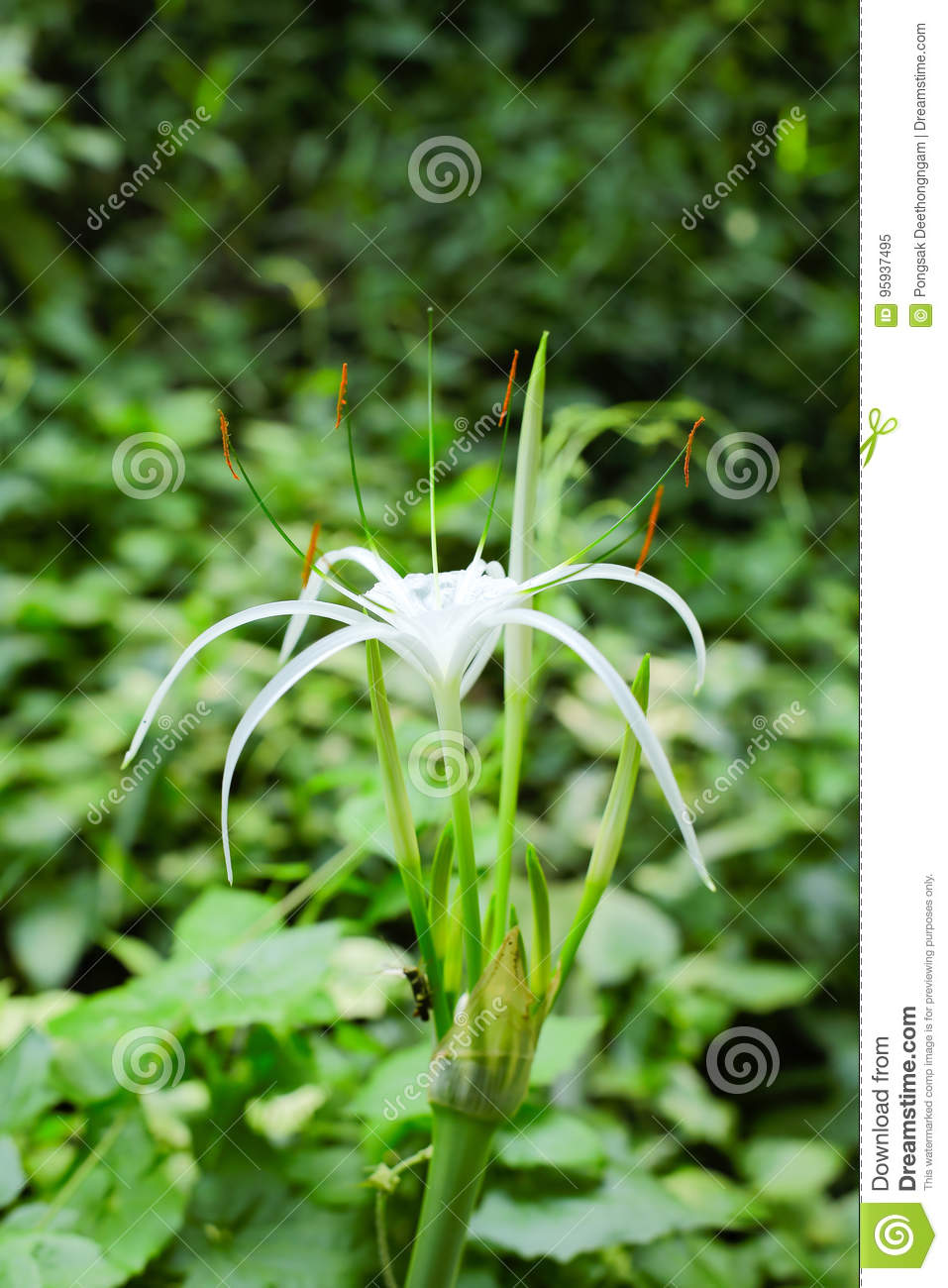 Spider lily flower stock image image of crinum flowering 95937495 download spider lily flower stock image image of crinum flowering 95937495 izmirmasajfo