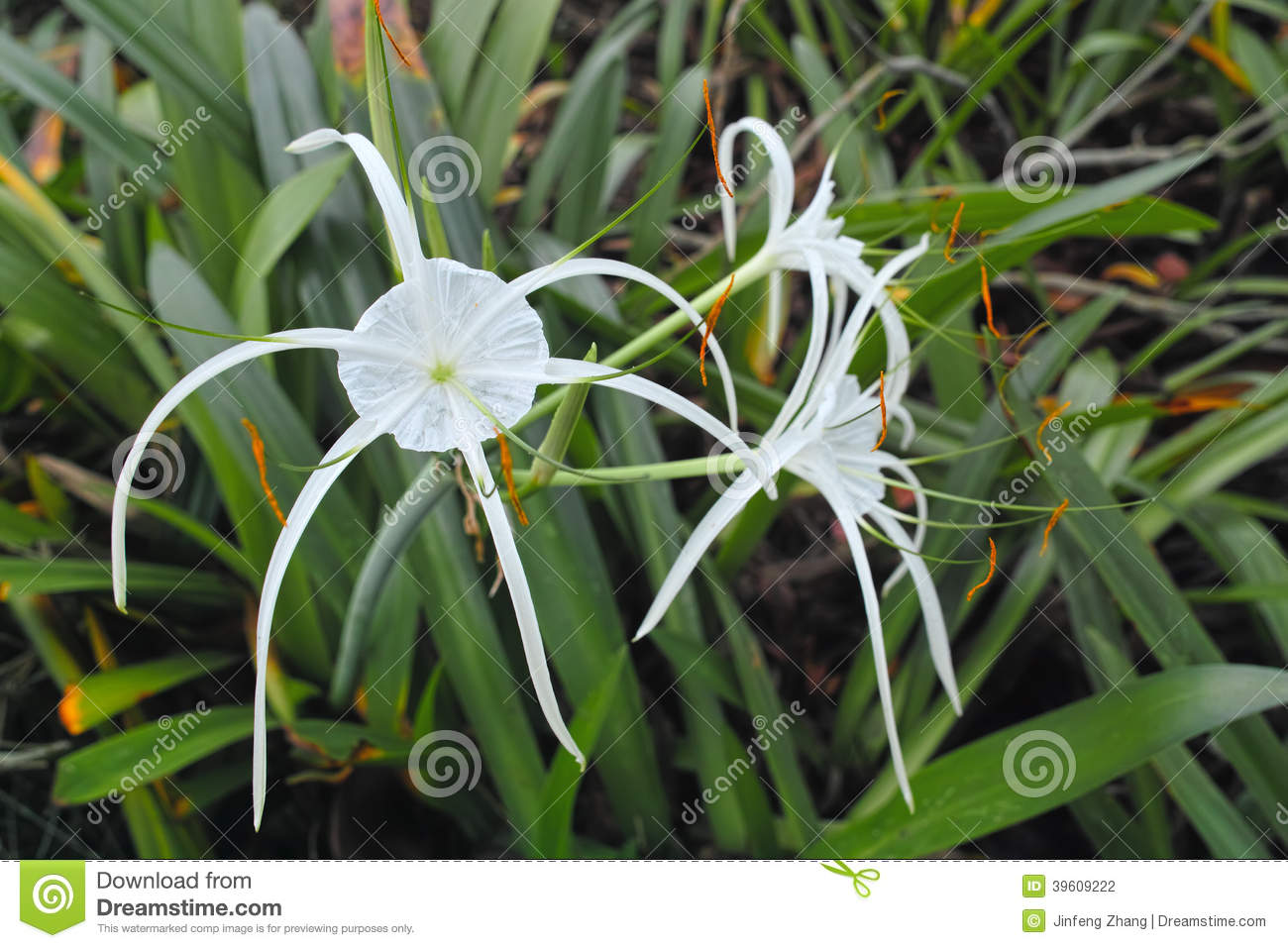 Spider lily flower stock photo image of tropics tropic 39609222 download spider lily flower stock photo image of tropics tropic 39609222 izmirmasajfo
