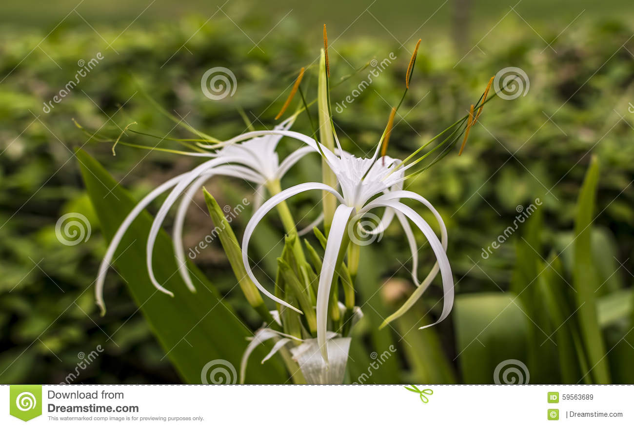 Spider lily flower stock image image of beauty environment 59563689 download comp izmirmasajfo