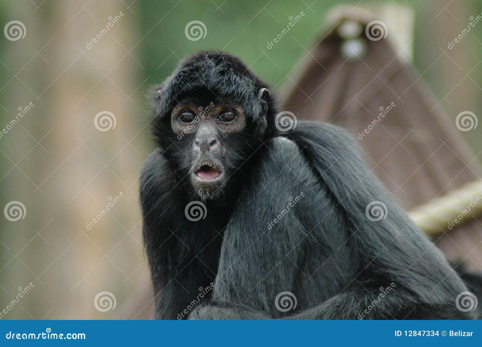 Spider monkey (Ateles fusciceps)